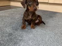 Dachshund Puppies Available.They are ready to leave