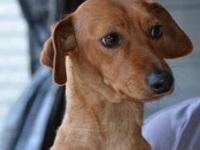 Dachshund - Ralphie - Small - Adult - Male - Dog