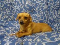 Dachshund - Reno - Small - Adult - Male - Dog