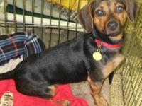 Dachshund - Roo - Medium - Young - Female - Dog I am