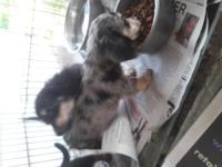 I have 1 blk&tan female 1grey dapple female 3 blk&tan