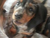 Akc Dachshund pups tan and black dapples(silver