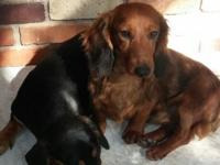 2 dachshunds seeking a new home. Both less than a year