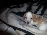 Mini short hair doxies ready about mid. October 2 males