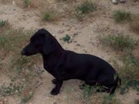 I have some in-tact Male Dachshunds for sale. All