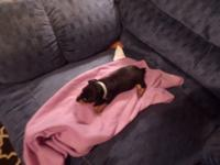 2 female black & tan 1 male black & tan $450 each $150