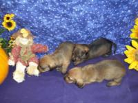 Beautiful harsh coat wirehaired male puppies ready for