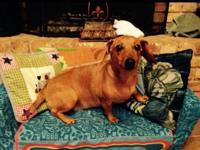 2 year old female Chihuahua mix dog named Peanut.