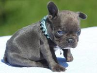 DAFDBVOC Blue Eyed Male and Female French bulldog