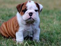 dafsre AKC registered English Bulldog puppies for new