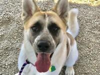 My story Dahlia is an active Akita mix that needs an