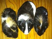 So many guinea pigs are in need of homes - please