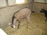*Very nice yearling dairy billy goat *Out of good