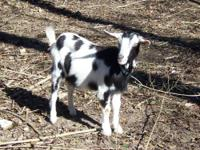 We have several dairy cross goats for sale. All goats