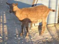 For Sale Dairy Goat Doe-Oberhasli/Alpine Cross born Feb