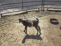 I have several LaMancha babies and yearlings for sale.