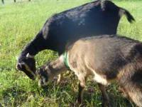 REDUCED FOR FAST SALE! I have a Black Lamancha (1 1/2