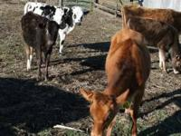 4 Jersey and Jersey cross heifers for sale 1 holstien