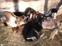 Two dairy goat doelings for sale. Nubian/Alpine cross.