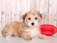 Daisy is a bubbly, playful, female, Morkie!! She comes