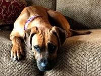 Daisy is a 3 year boxer mix.  The dog is good with