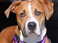 Daisy's story I am a 1 year old fawn female Boxer mix.