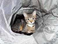 Daisy: DSH Female, very cute grey and striped with