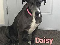 Daisy's story Daisy is a 4 year old, female, Great