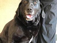 daisy's story daisy lab 6 years old female has