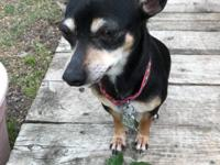 Name: Daisy Breed: Min Pin - Chi mix Age: 2 Color: