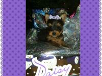 ADORABLE!!!! Female Toy Yorkshire terrier puppy. All