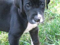 We have a handsome black with white markings AKC male