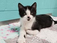 Dale's story Dale is a lovable 9 week old male tuxedo.