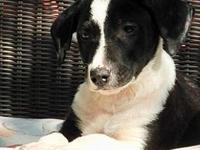 My story Dale- female Border Collie mix puppy- was