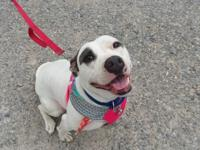 Daley is an energetic 2 1/2-year-old American Staffy/