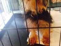 Dallas is a Tea cup Yorkie only three months. He's