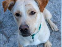 Dallas is a one-year old male yellow lab mix. He is