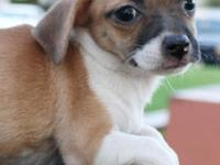 Dallas is a brown and white  Chiweenie (Chihuahua & &