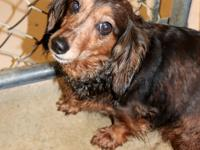 Dallas is a beautiful dachshund mix, 15 pounds, with