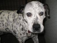 Dalmatian - Callie - Large - Senior - Female - Dog