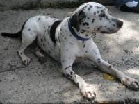 Dalmatian - Dana - Medium - Adult - Female - Dog Dana