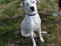 Dalmatian - Lacy - Large - Young - Female - Dog Lacy