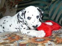 Our awesome dalmatian puppies  loves attention