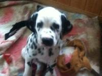 Dalmatian puppies born 5/19/13. Still have 3 boys and 2