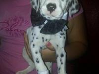 Dalmatian puppies ready this Sunday. They do not have