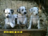 We have 4 purebred female Dalmatian puppies looking for