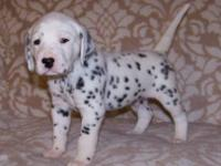 Show quality dalmatian puppies. Males and females both