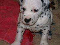 Purebred BEAUTIFUL Dalmatian puppies. Medium to heavy