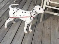 14 week old Dalmatian puppy, loves to play, great with
