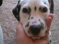 I have a male Dalmatian puppy. His name is Quint, he